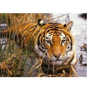 Tigre à l'Affut Puzzle de 500 Pièces - RAV87168 NATHAN