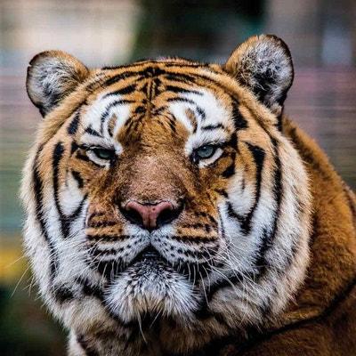 Tableau photo : tigre en : Toile Tableau photo : tigre en : Toile DECOLOOPIO
